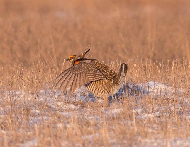 Prairie Chicken-Short-eared Owl  4-9-16-13