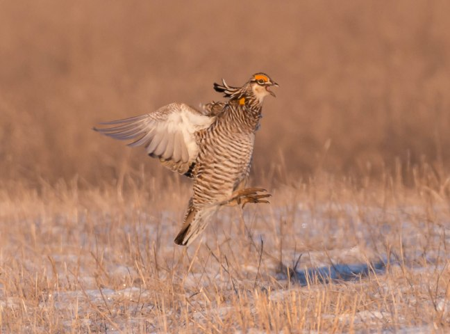 Prairie Chicken-Short-eared Owl  4-9-16-15