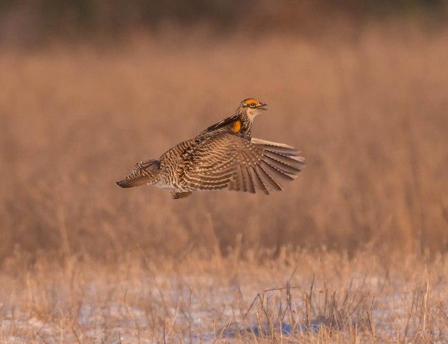 Prairie Chicken-Short-eared Owl  4-9-16-19