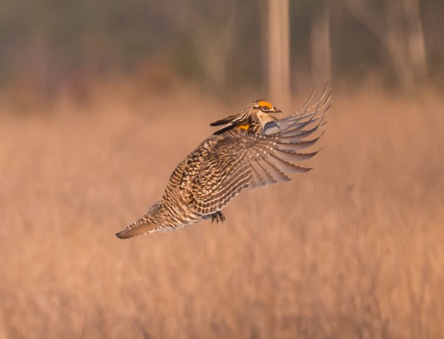 Prairie Chicken-Short-eared Owl  4-9-16-20