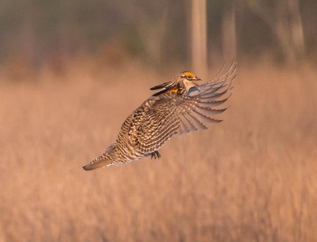Prairie Chicken-Short-eared Owl  4-9-16-20
