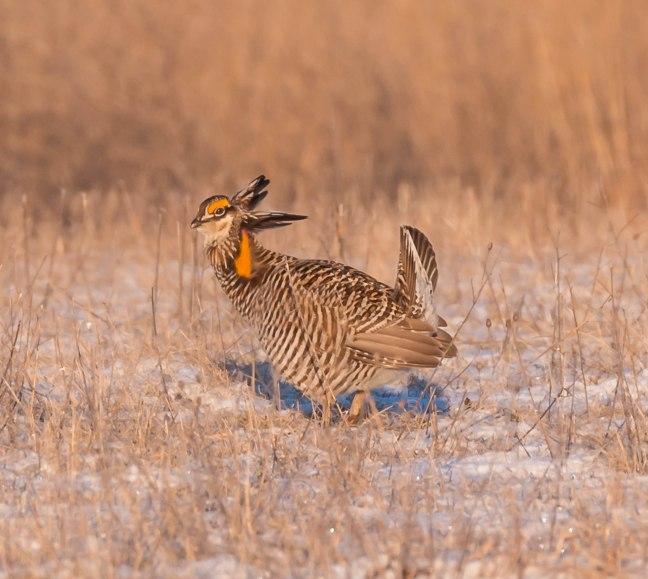 Prairie Chicken-Short-eared Owl  4-9-16-29