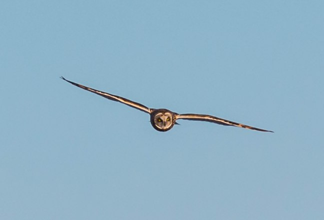 Prairie Chicken-Short-eared Owl  4-9-16-37