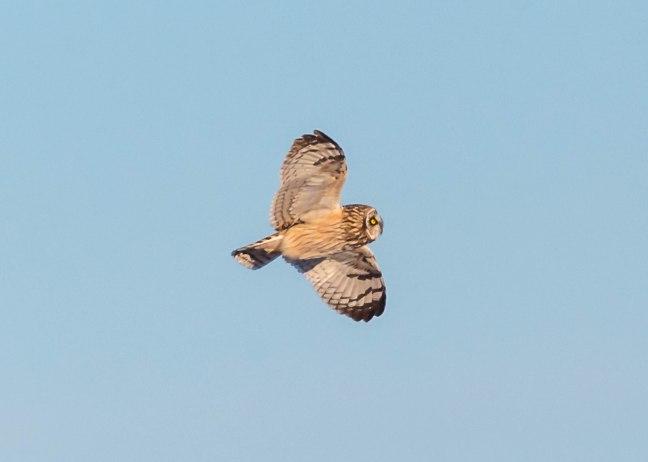Prairie Chicken-Short-eared Owl  4-9-16-42