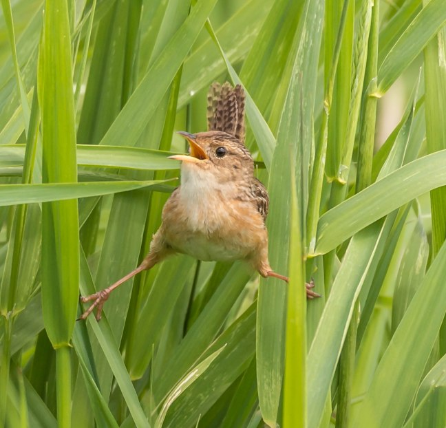 Sedge Wren 9 Springs 5-29-16 Jeff Galligan-2