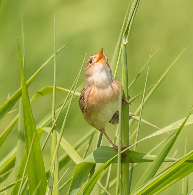 Sedge Wren 9 Springs 5-29-16 Jeff Galligan-3