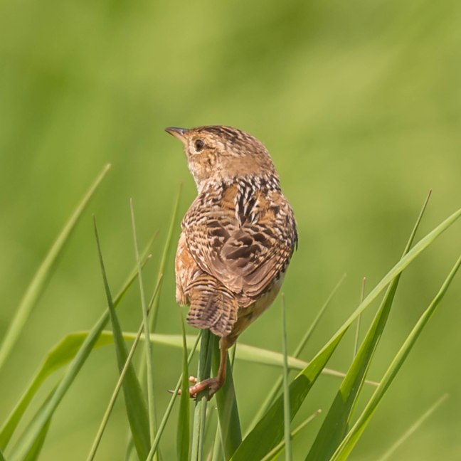 Sedge Wren 9 Springs 5-29-16 Jeff Galligan-4