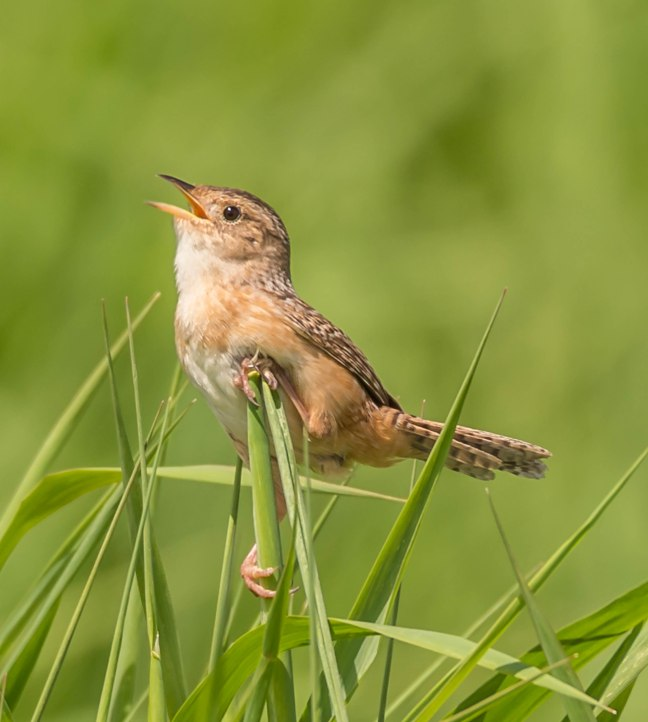 Sedge Wren 9 Springs 5-29-16 Jeff Galligan-5