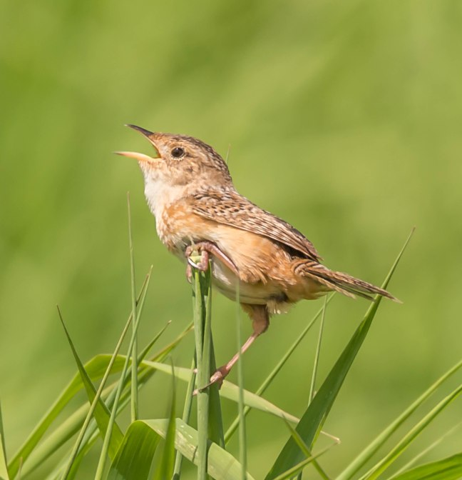 Sedge Wren 9 Springs 5-29-16 Jeff Galligan