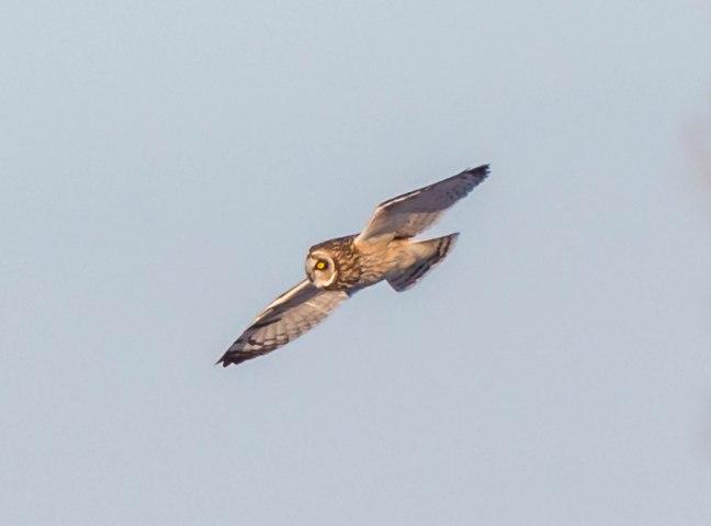Short-eared Owl  4-9-16-2