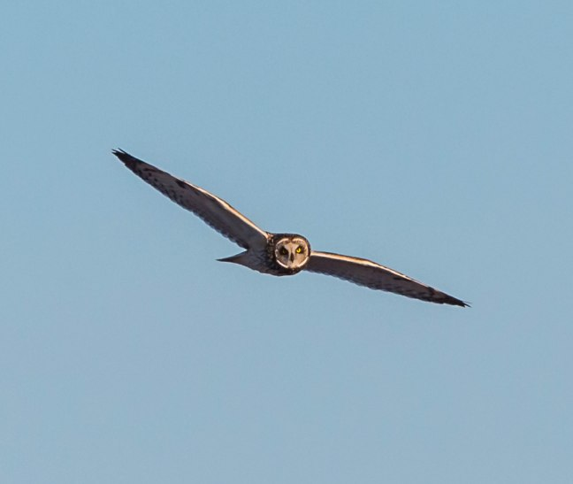 Short-eared Owl  4-9-16