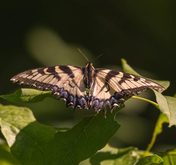 Tiger SwallowtailParfrey's Glen6-18-16 Jeff Galligan-2