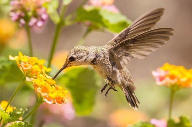 Anna's Hummingbird-2