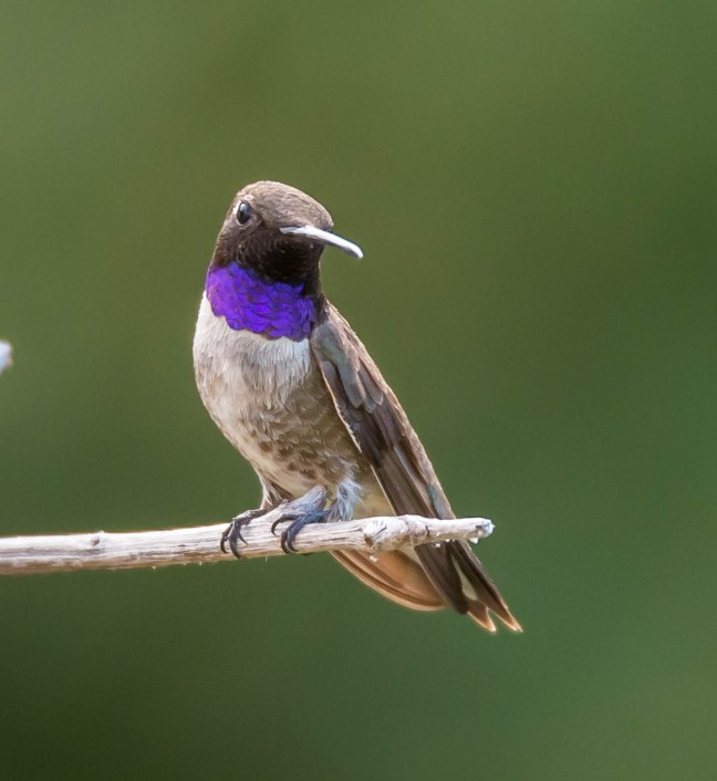 Black-chinned Hummingbird_