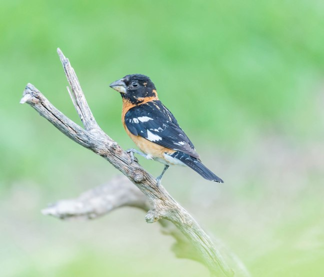 Black-headed Grosbeak-2