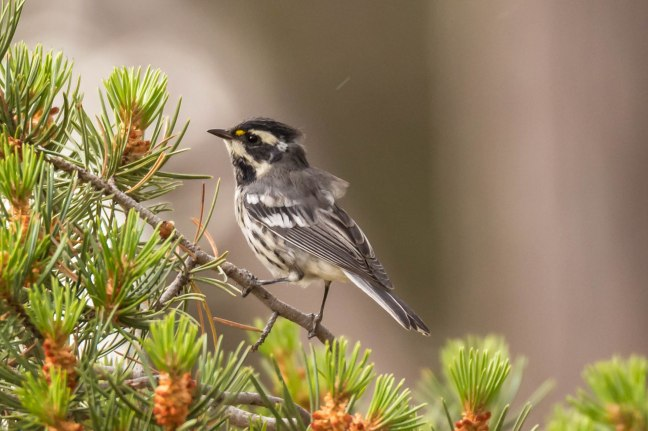 Black-throated Gray Warbler-2