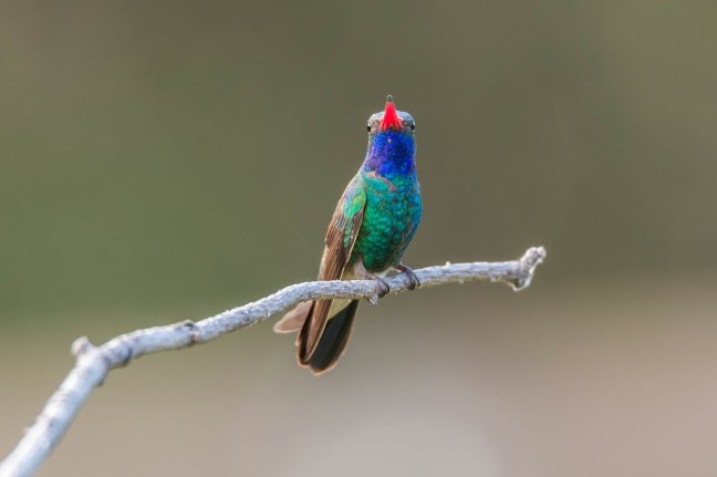 Broad-billed Hummingbird 2