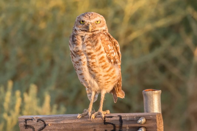 Burrowing Owl-2