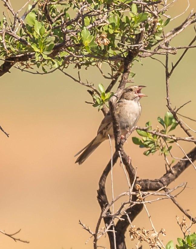 Cassin's Sparrow.jpg