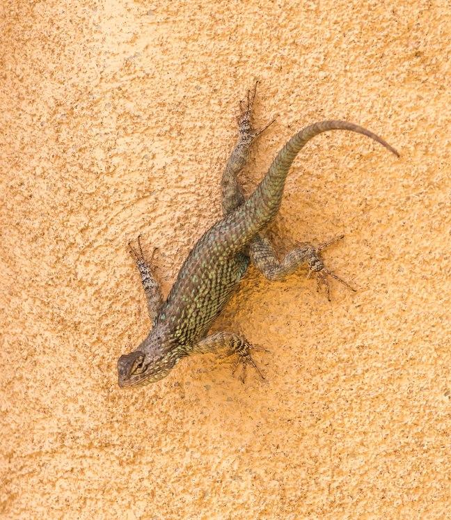 Clark's Spiny Lizard-2