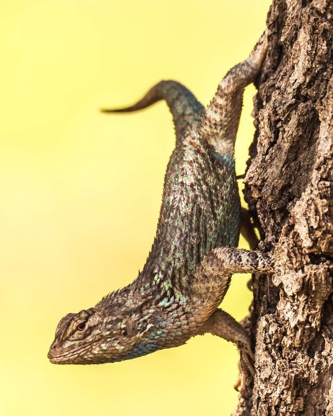 Clark's Spiny Lizard-3