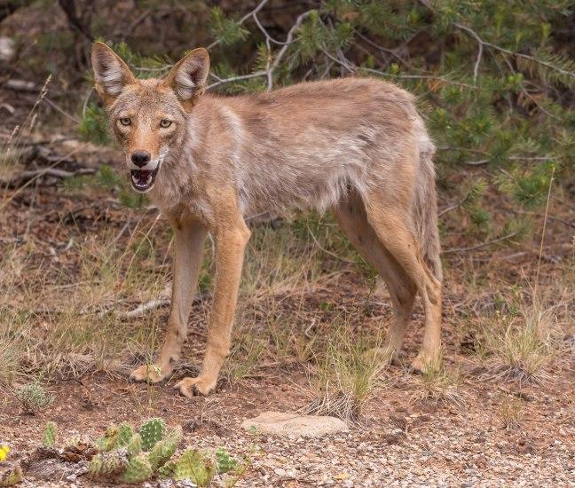 Coyote!-2