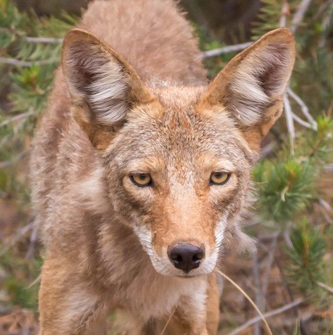 Coyote!-3