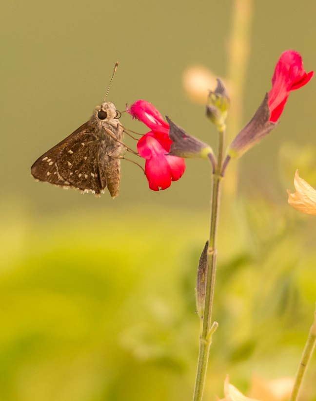 Dusky Roadside Skipper