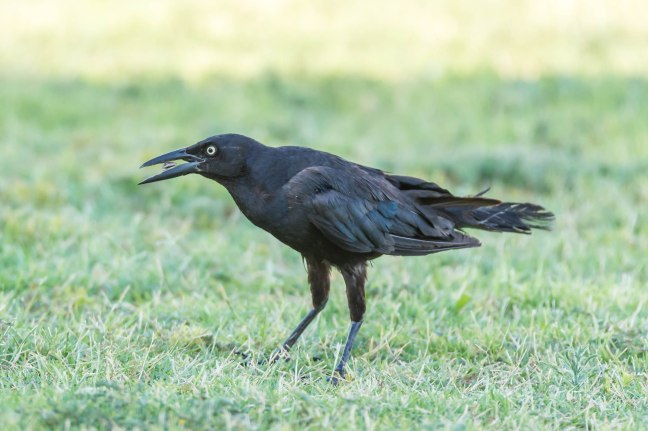 Great-tailed Grackle-2