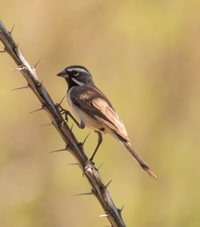 new Black-throated Sparrow