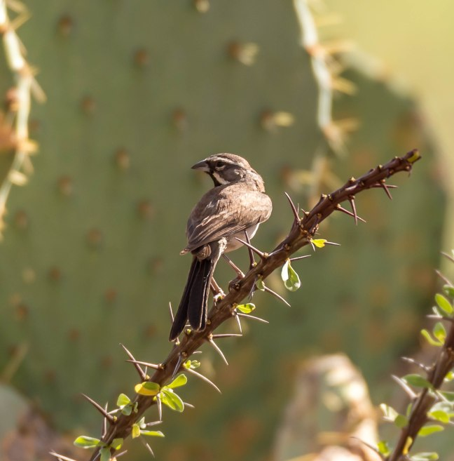 New Black Throated Sparrow_