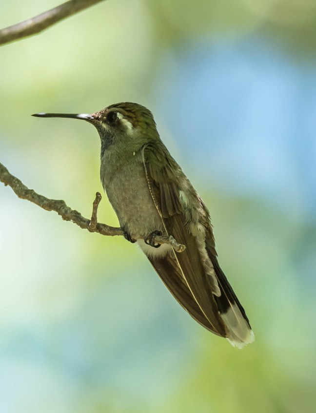 New blue-throated Hummingbird-2