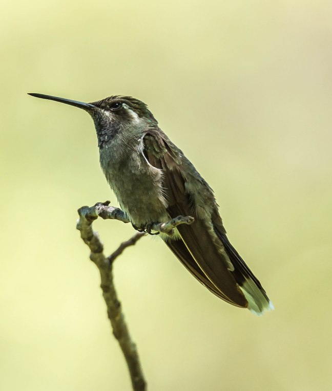 New blue-throated Hummingbird