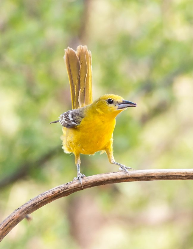 New Scott's Oriole