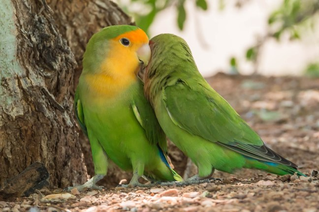 Rosy-faced Lovebirds-2