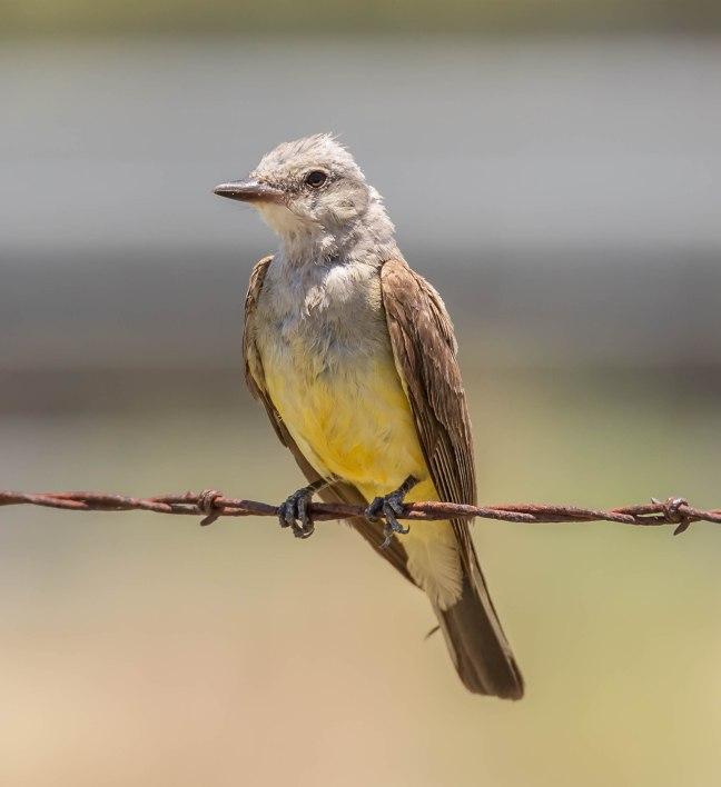 Western Kingbird-2