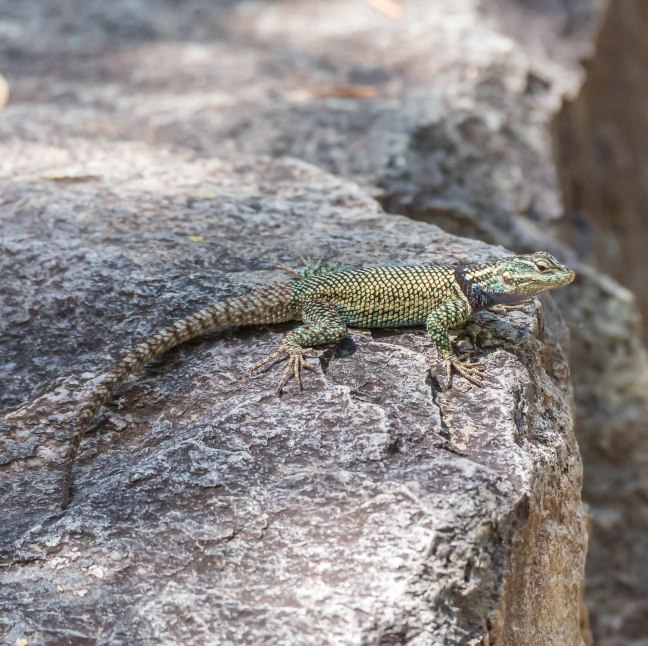 Yarrow's Spiny Lizard-2