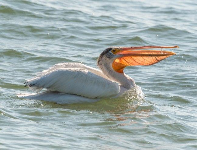 american-pelican