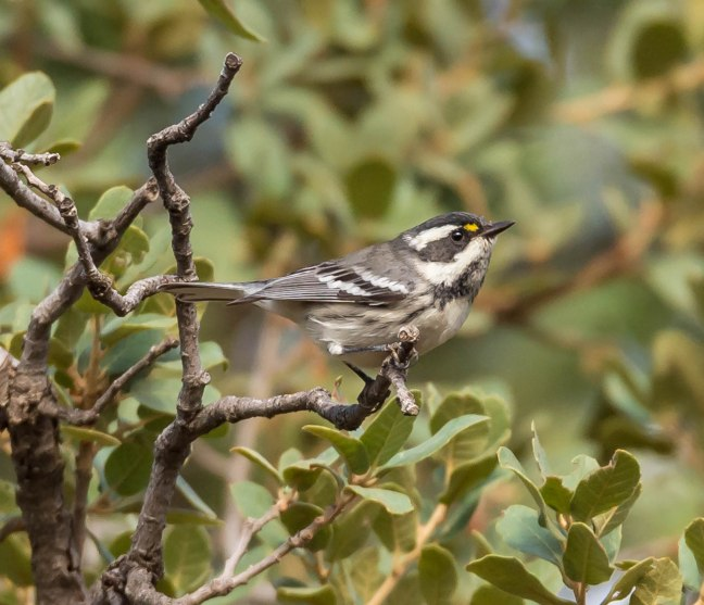 black-throated-gray-warbler