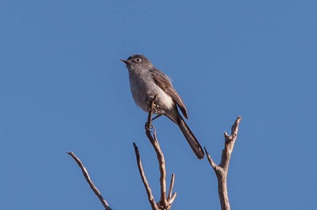 blue-gray-gnatcatcher-mt-ord