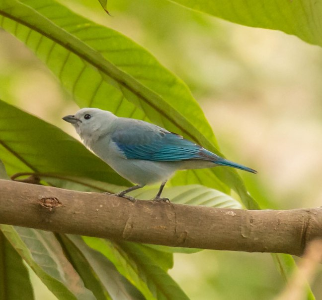 blue-gray-tanager