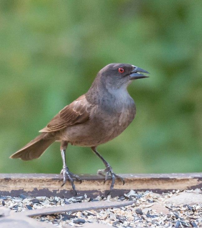 bronzed-cowbird-mt-lemmon-madera-canyon-7-14-16-35