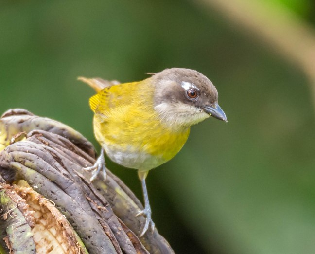 common-bush-tanager