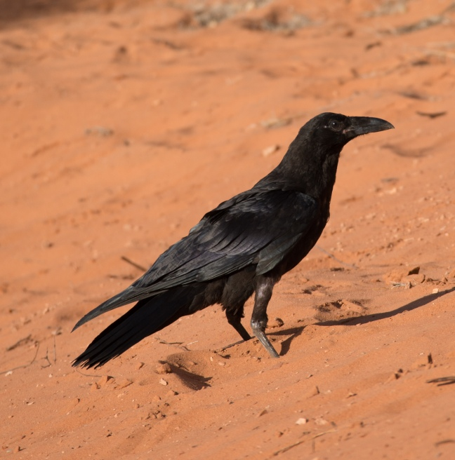 common-raven
