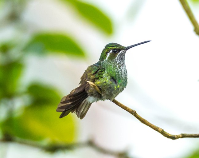 emerald-chinned-hummingbird