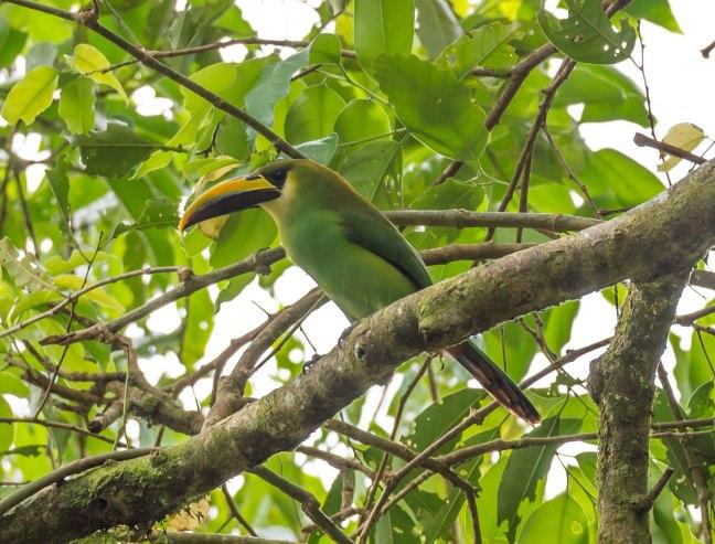 emerald-toucanette