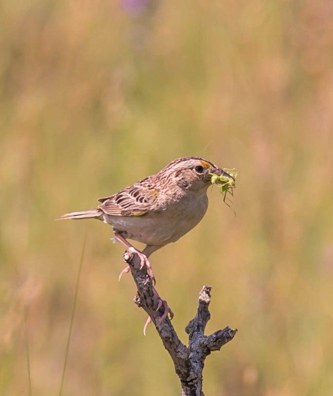 grasshopper-sparrow