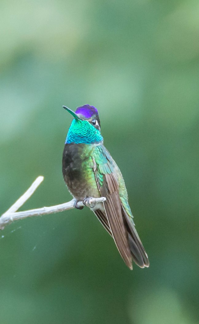 magnificent-hummingbird