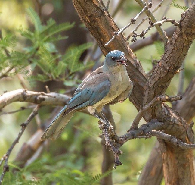 mexican-jay-madera-canyon-7-15-16-49