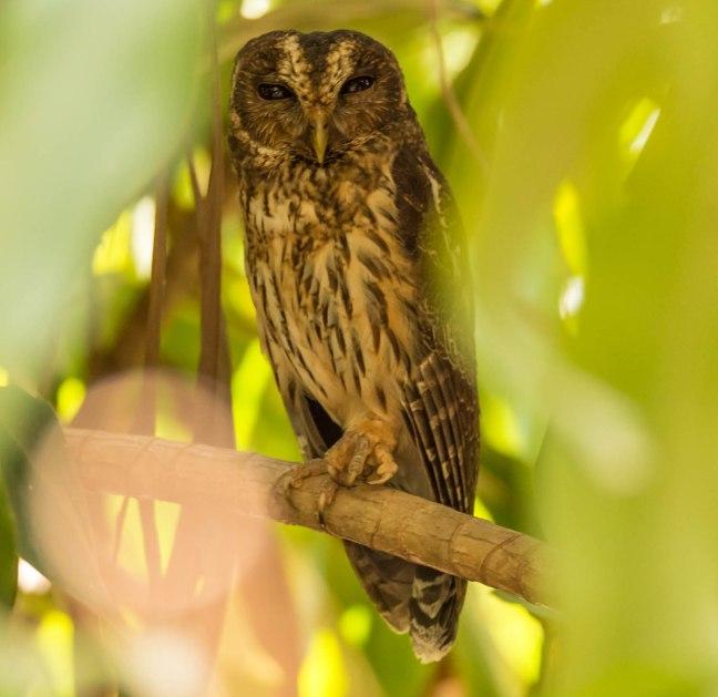 mottled-owl